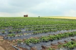 Pe terenul unde cresc căpşunile este instalat un sistem de irigare prin picurare.